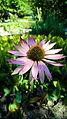Der Sonnenhut, lat. Echinacea, Echinacea purpurea.jpg