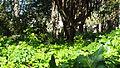 Des espaces verts en plein jardin d'essai à Alger.JPG