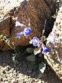 Desertbells (Phacelia campanularia); 49 Palms Trail (12525679475).jpg
