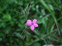 Dianthus armeria macro