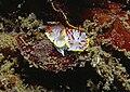 Diaphorodoris papillata Portmann & Sandmeier, 1960 - accouplement.jpg