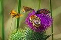 Dickkopffalter (Hesperiidae spec.), Sechsfleck-Widderchen (Zygaena filipendulae) und Wildbiene (Apoidea spec.) auf einer Distel - Spiekeroog, Nationalpark Niedersächsisches Wattenmeer.jpg