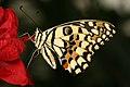 Didier.bier - Jardin des papillons de Grevenmacher - 2 (by-sa).jpg