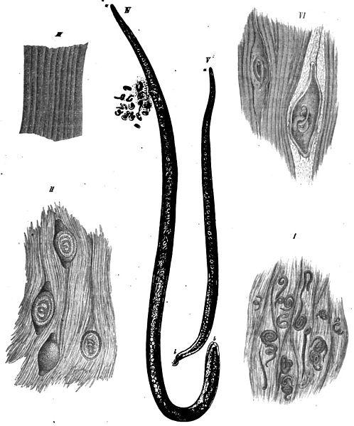 Svalovec špirálovitý parazituje vo svaloch živočíchov