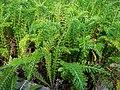 Die Schafgarbe, lat. Achillea millefolium, 'Cerise Queen' 02.jpg