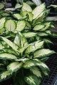 Dieffenbachia Compacta 2zz.jpg