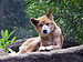 Dingo Perth Zoo SMC Sept 2005.jpg