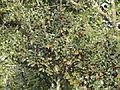 Diospyros whyteana, Louwsburg.jpg