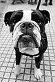 Dog (22755741885).jpg