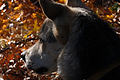Dog in Fall (5176518107).jpg