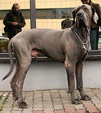 Dog niemiecki błękitny 65.jpg