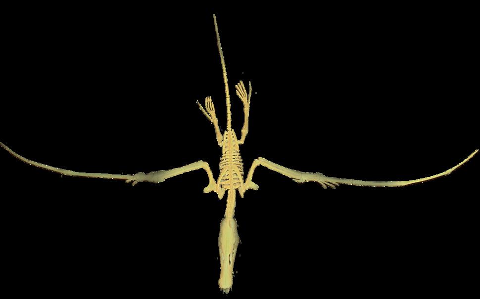 Dorygnathus Flying Clean