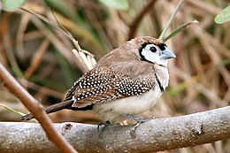 Double-barred Finch.jpg