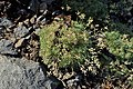 Draba bruniifolia kz01.jpg