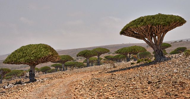 Dragon Blood trees