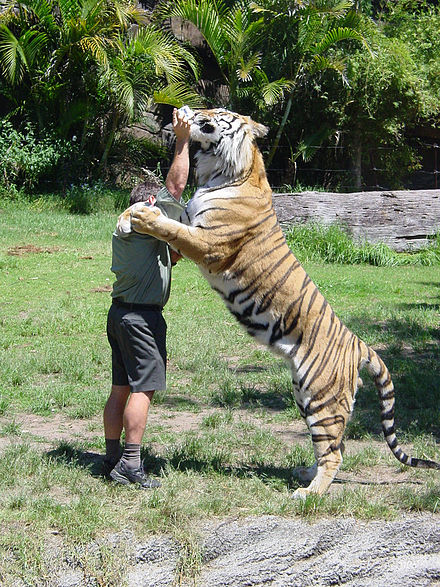 A tiger drinking milk from a trainers hand during a tiger presentation. Dreamworld Tiger drinking milk.jpg