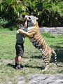 Dreamworld Tiger drinking milk.jpg