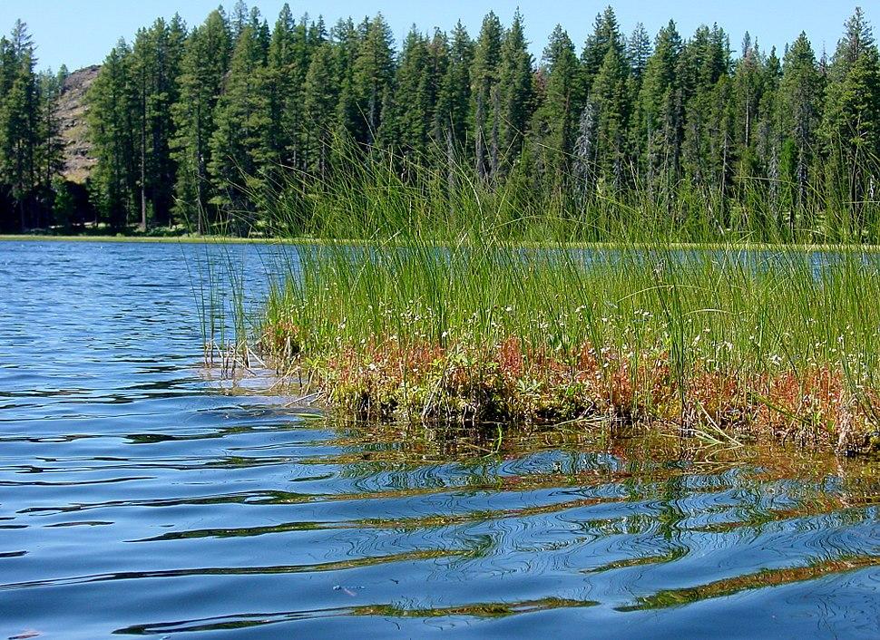 Drosera anglica habitat