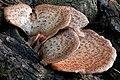 Dryad's Saddle (Polyporus squamosus) - Guelph, Ontario 02.jpg