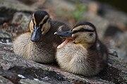 180px-Ducklings_at_University_of_Warwick..jpg