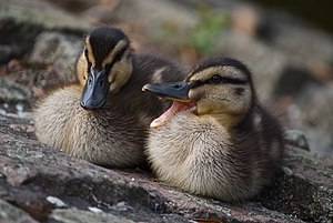 Two Mallard ducklings (Anas platyrhynchos) at ...