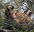 Dusky Eagle Owl Bubo coromandus by Dr. Raju Kasambe DSCN2055 (2).jpg