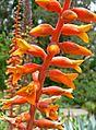 Dyckia platyphylla 4.jpg
