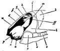 EB1911-Gastropoda 7.png