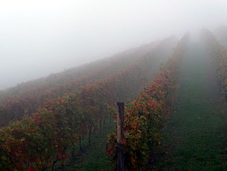 Nebbiolo - Early morning fog in a Nebbiolo vineyard in the Langhe. The Italian word for fog, nebbia, is one possible origin for the name Nebbiolo.