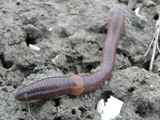 Earthworm 01