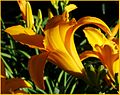 Easter Lily 5-4-14 (14212022401).jpg