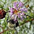 Eastern Bumblebee on Feays Prairieclover (8145926654).jpg