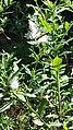 Eastern Tiger Swallowtail butterfly Eno River Hillsborough NC 103241 (30643777240).jpg