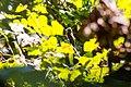 Eastern wood-pewee (37250738245).jpg