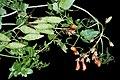Eccremocarpus scaber2.jpg