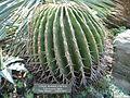 Echinocactus ingens.jpg