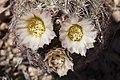 Echinomastus intertextus - Flickr - aspidoscelis (1).jpg