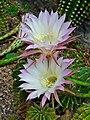 Echinopsis oxygona 004.jpg