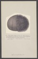 Echinus esculentus - - Print - Iconographia Zoologica - Special Collections University of Amsterdam - UBAINV0274 007 02 0033.tif