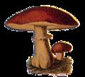 Edible Fungi 06.png