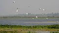 Egrets in AP W IMG 3832.jpg