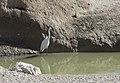 Egretta garzetta - Little egret, Malatya 2018-09-29 03.jpg