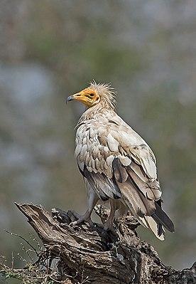 Egyptian Vulture (18208369344).jpg