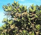 Elaeocarpus tuberculatus 07.JPG
