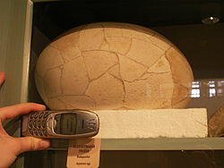 Elephant Bird Egg.JPG