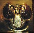 Elephantomyia (E.) longirostris fig 10 hypopygium 01.jpg