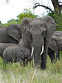 Elephants (Loxodonta africana) mother and baby (11550051995).jpg