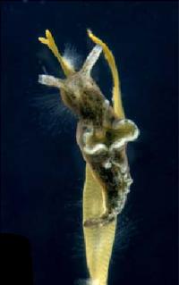 <i>Elysia viridis</i> species of mollusc