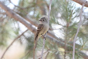 Hammond's flycatcher - Image: Empidonax hammondii
