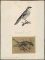 Enneoctonus minor - 1700-1880 - Print - Iconographia Zoologica - Special Collections University of Amsterdam - UBA01 IZ16600419.tif